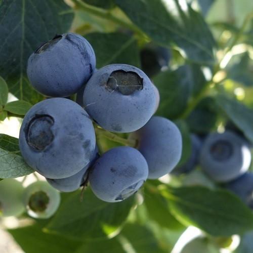 Μύρτιλο - Blueberries