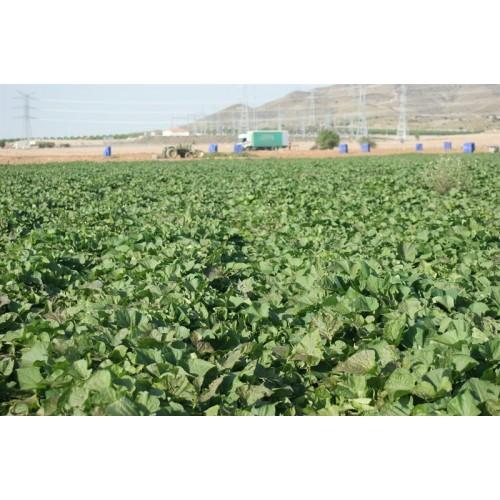 Φυτά Γλυκοπατάτας